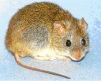 short-tailed cane mouse aka Guanarito target #1