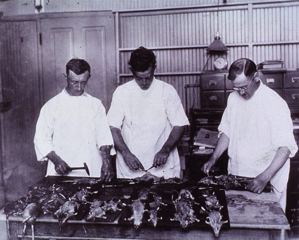 800px-examining_rats_for_bubonic_plague_new_olreans_1914_a024245